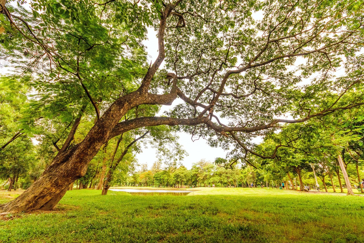 Leltárba vették a fővárosi fákat